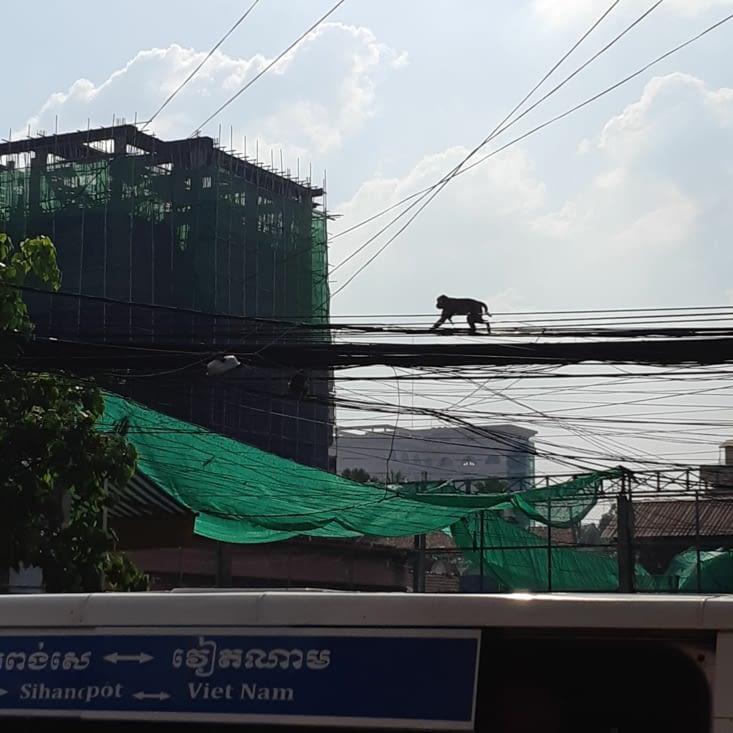 Des singes en plein milieu de la capitale