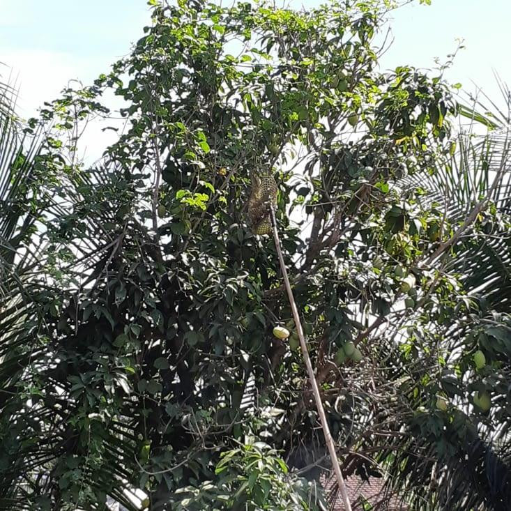 La mangue qui tombe de l'arbre