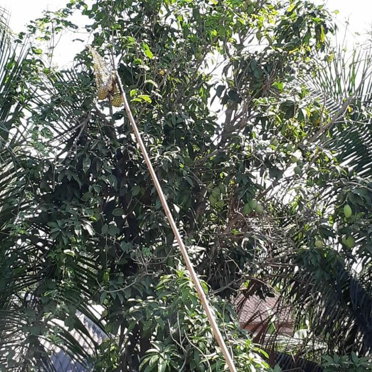 Ramassage de mangue