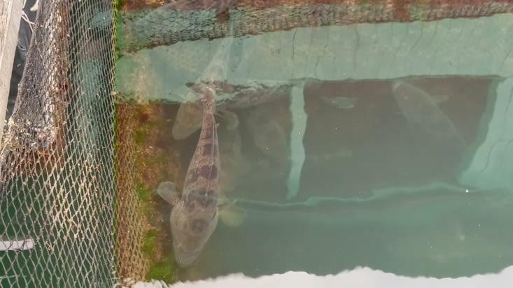 Visite d'une ferme aquatique (mérou)