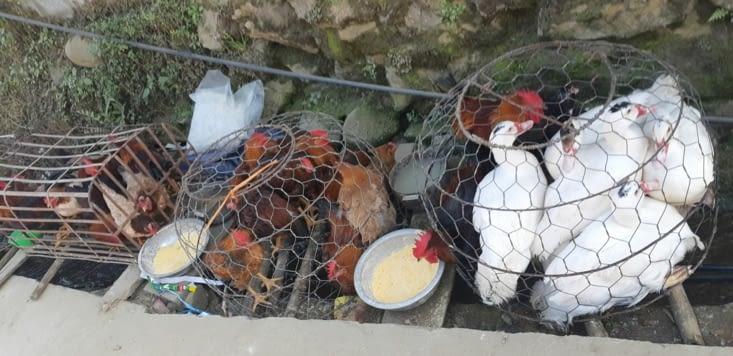 L'élevage de volailles