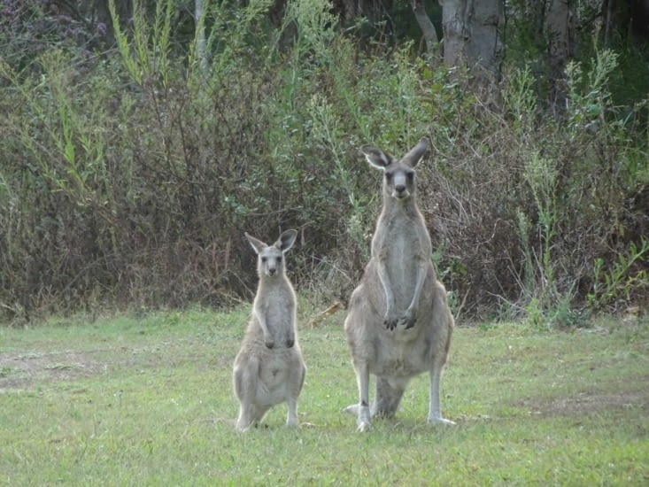Rencontre avec les kangourous dans le camping