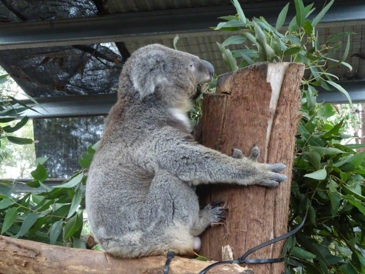 L'hôpital des koalas