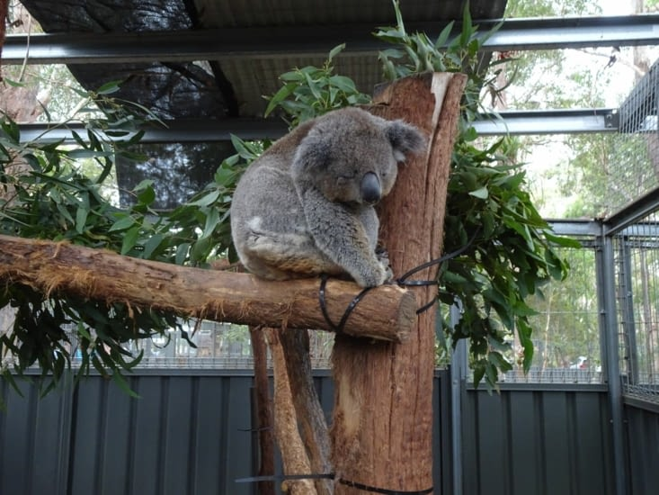 Xavier le koala