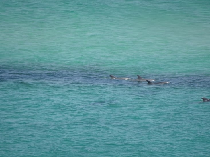 Les dauphins 🐬