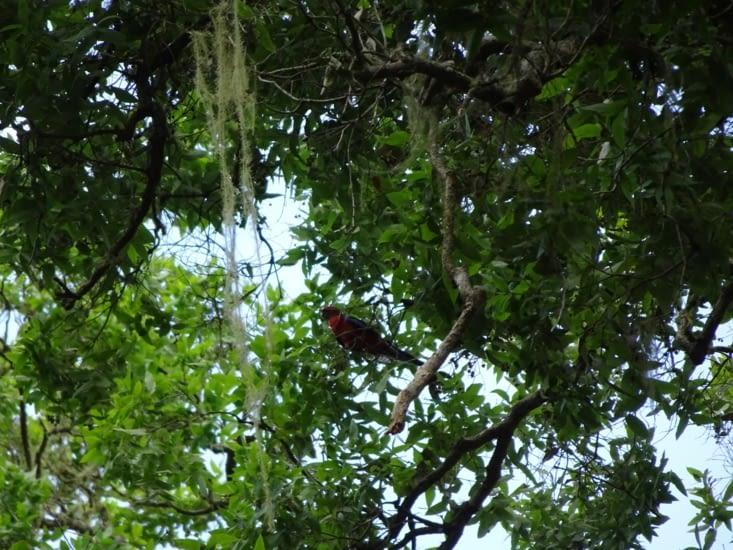 Les perroquets rouges