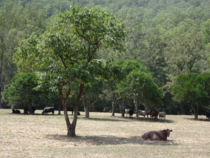 Les vaches, les seules présentent dans le quartier !