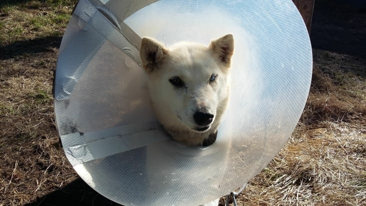 Ixi qui s'est faite déchirer par Sigyn et qui est en convalescence depuis 2 semaines....
