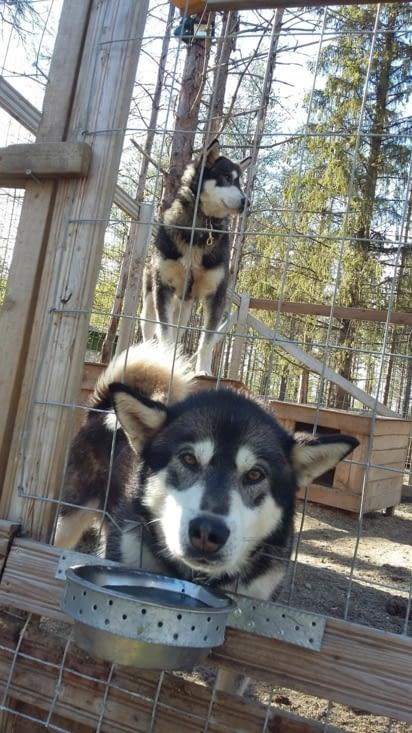 Kublai et Nuku, deux énormes ours qui veulent s'échapper dès que possible mais jamais de