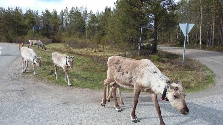 les Rennes sans bois ( saison et élevage)