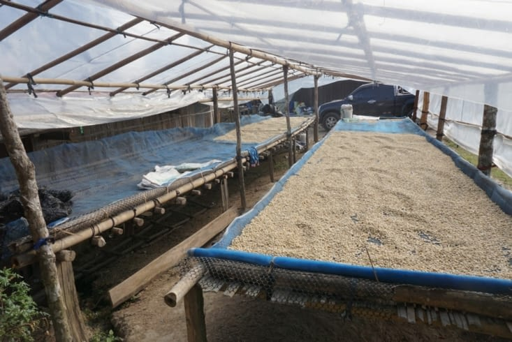 Grains de cafés en cours de séchage