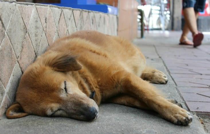 Thaï dog