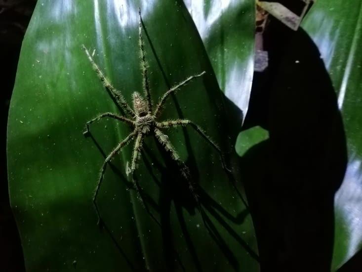 Araignée nocturne geante