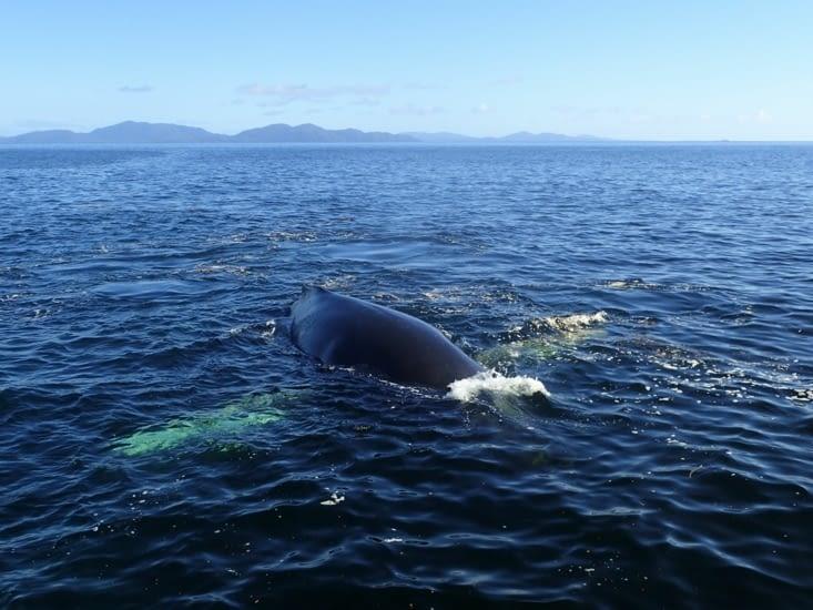 Ca plane pour les baleines à bosse