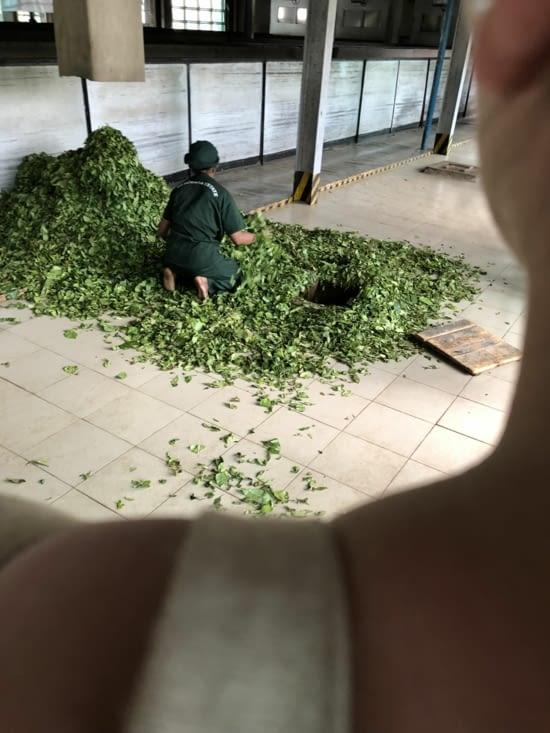 Tri des feuilles de thé après séchage