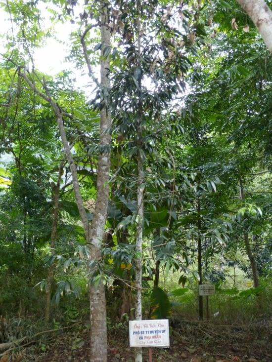 rung kim giao ou arbre à baguettes