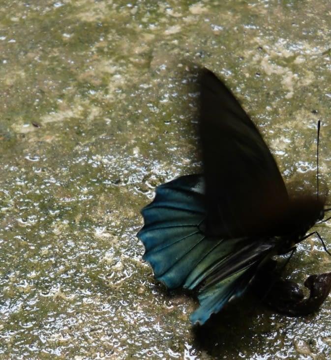 les papillons sont partout y compris le magnifique morpho bleu et noir qui fait entre