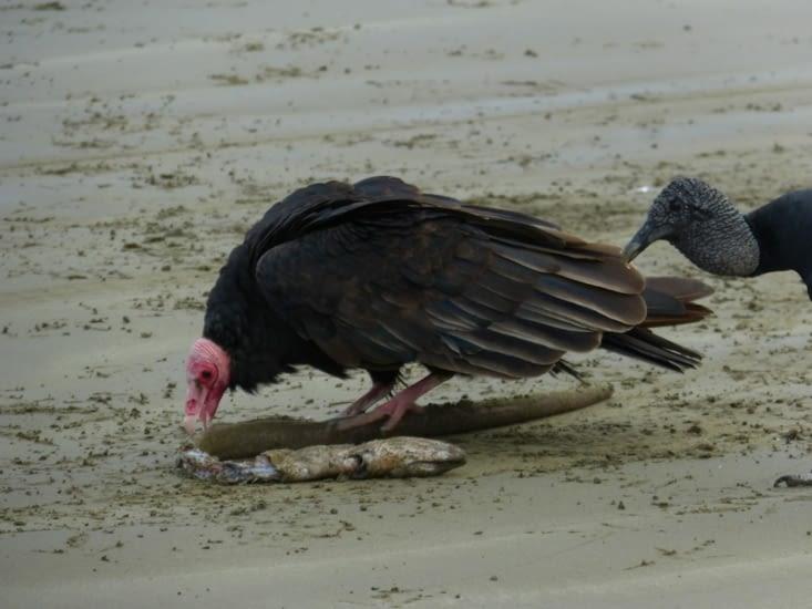 les urubus nettoient la plage