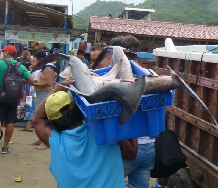 requins -marteaux avec leurs têtes
