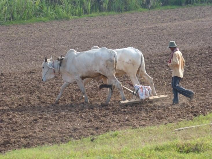 labourage avant les plantations de tomates ,concombres,sésame en alternance
