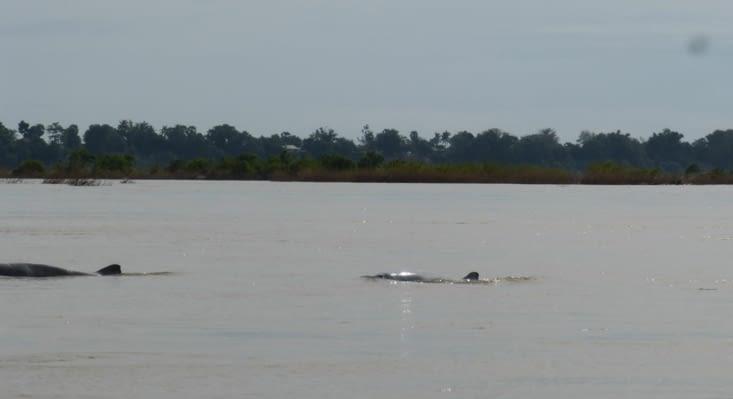 dauphins de l'Irrawaddy. petits dauphins d'au douce qui ressemblent plus aux globycéphales