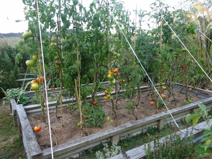 Les belles tomates