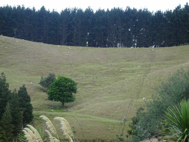 Les moutons au loin
