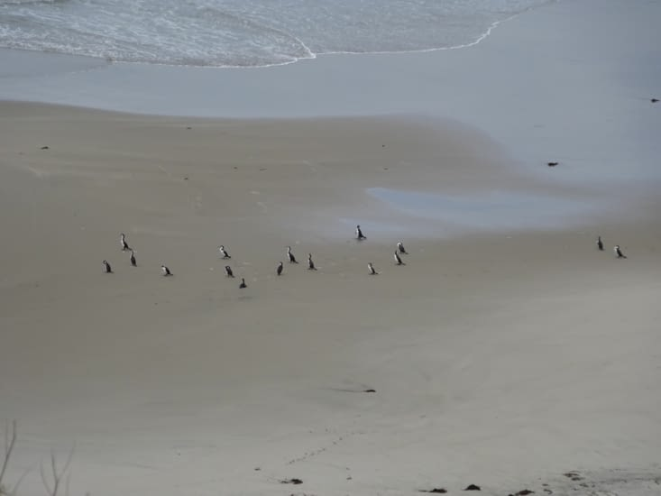 Grand Cormoran sur le plage