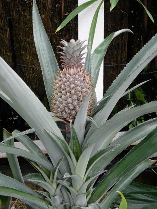 Un ananas !