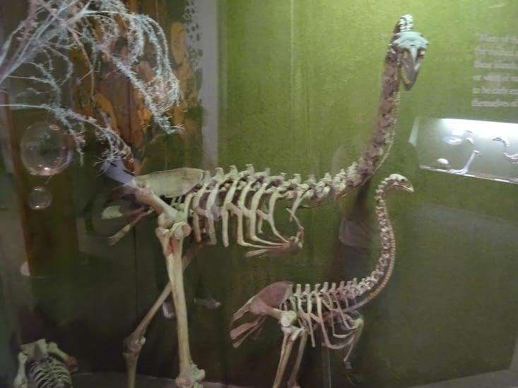 Au muséum, nous croisons un squelette de Moa, espèce disparu il y a longtemps