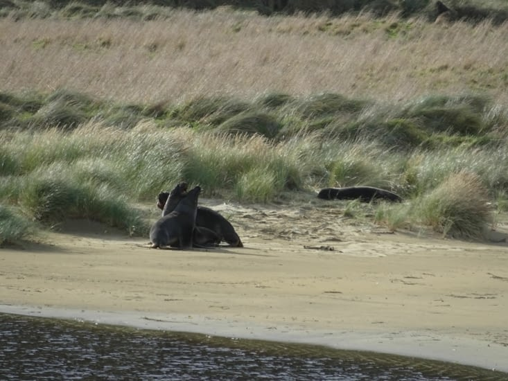 Lions de mer à Purakaunui bay