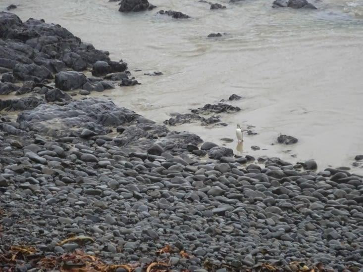 Nugget point et pingouin qui sort de l'eau !!