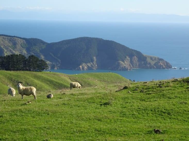Les moutons sont heureux ici