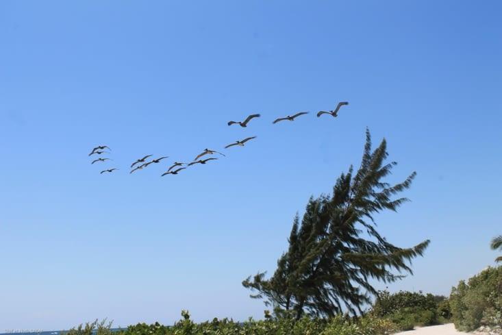 Vol de pelicans