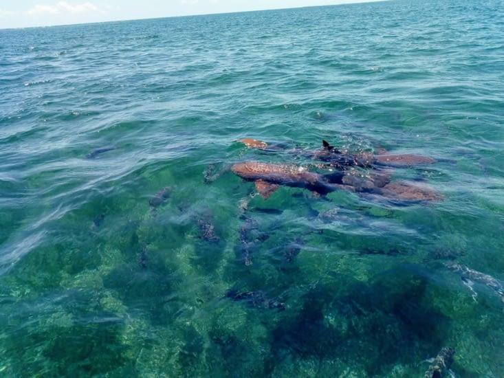 Requins nourrices