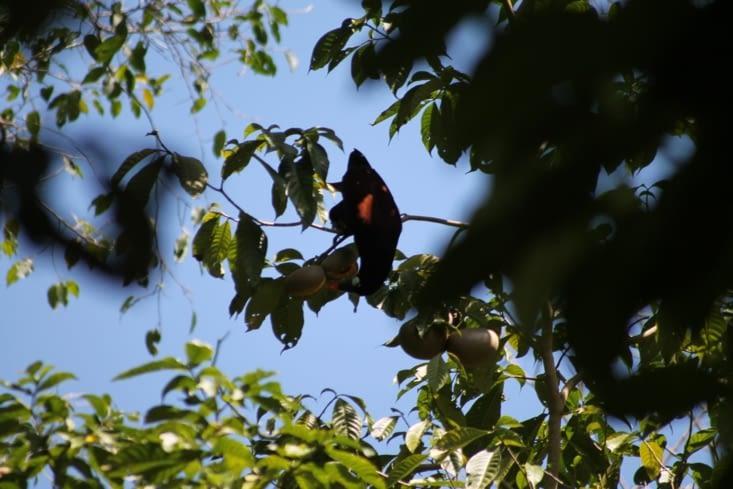 Oiseau  Belizien