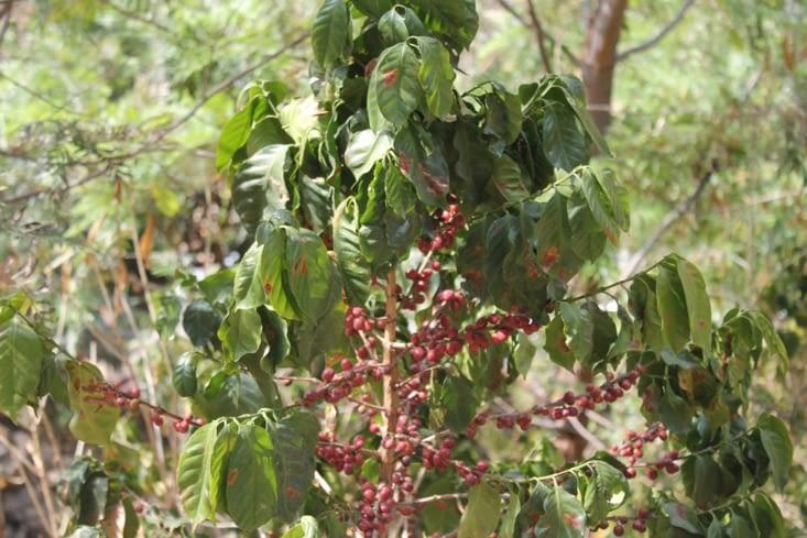 Plant de café
