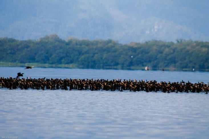 Bande d oiseaux à  fleur d' eau
