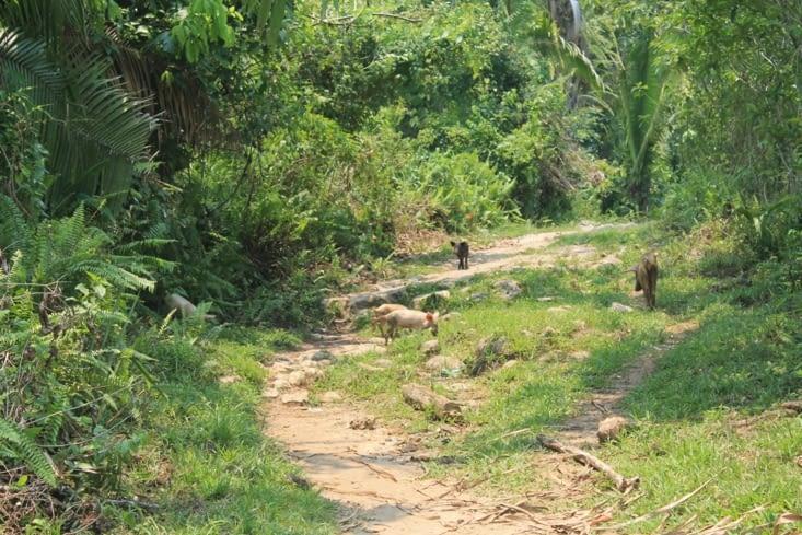 Cochons sur le chemin