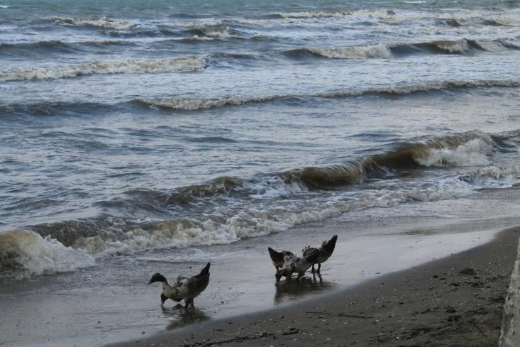Canards sur la plage