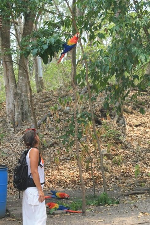 A copan les aras Macaw sont rois