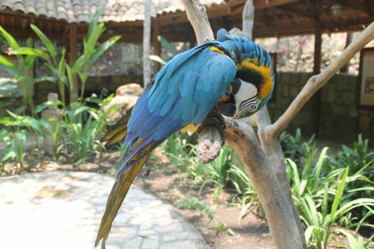 Macaw azul