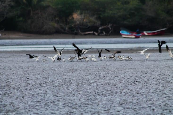 Banc d'oiseau de mangrove