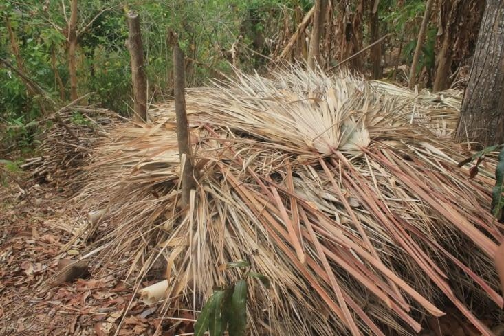 Palme à  sécher pour faire toiture