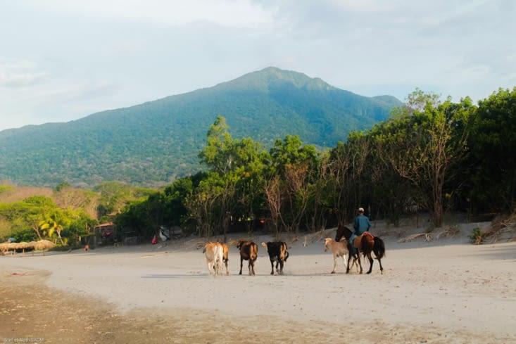 Un caballero qui rentre ses vaches par la plage