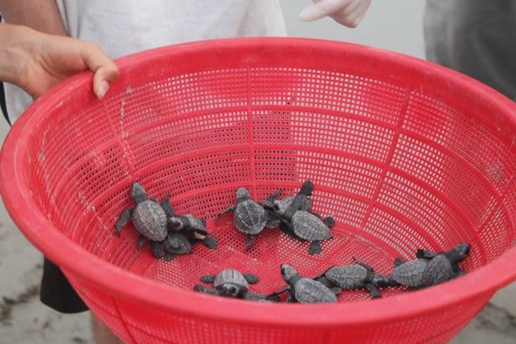 Panier de bébés tortues