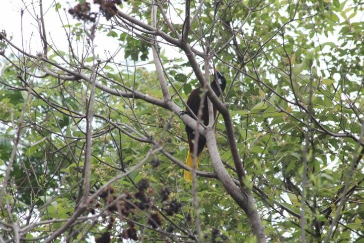 L oiseau à  plumes noires et jaunes