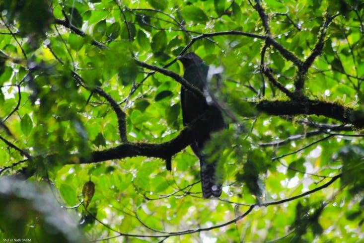 Femelle Quetzal