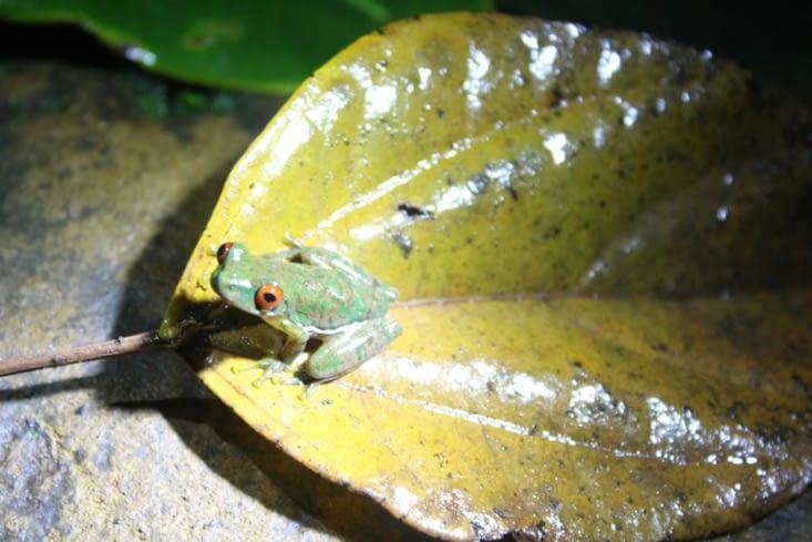 Une grenouille emblématique du Costa Rica
