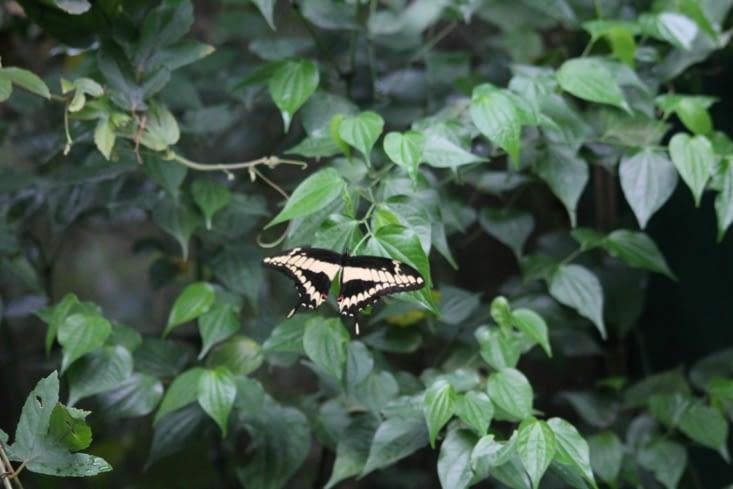 Papillon grand porte queue